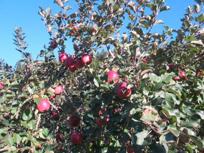 群馬県沼田のりんご園の画像